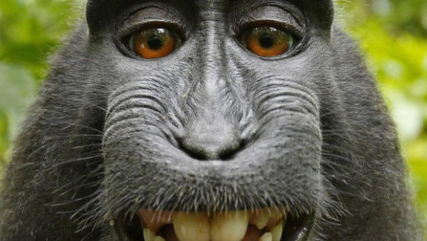 Monkey selfie copyright dispute